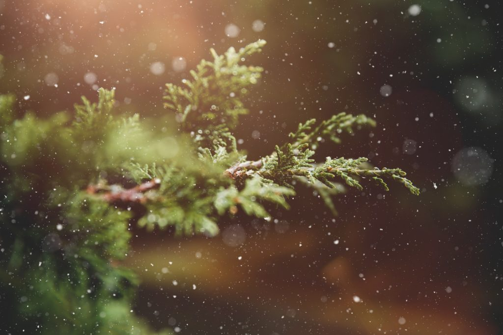 Evergreen branch with snow